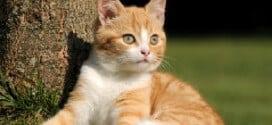 Racker mit weichem Fell sucht Katzenliebhaber zum Schmusen: Tipps für die Anschaffung einer Katze
