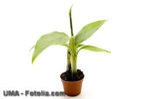 Bananenpflanze im Zimmer- Tipps zur Pflege