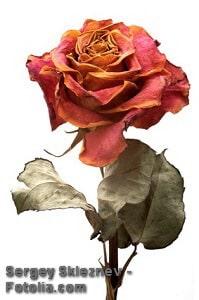 Rosen trocknen – Tipps und Möglichkeiten