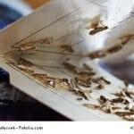Clothing Moths,Tineola bisselliella, on a pheromone trap 05